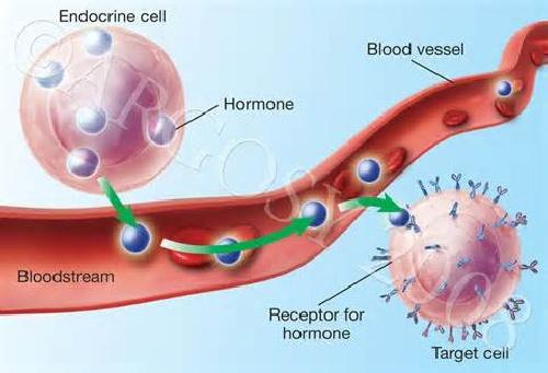 انواع هورمونها